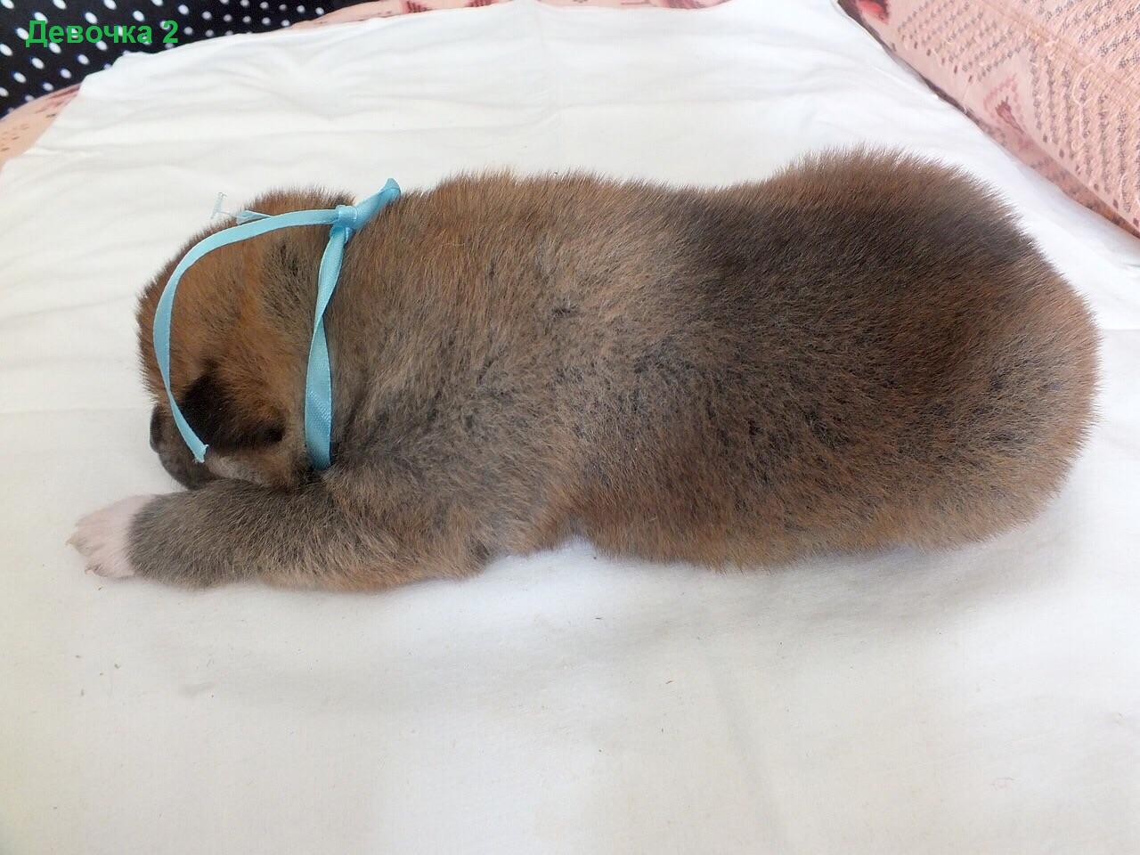 Порода собак Акита